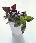 Red basil in a white flower pot