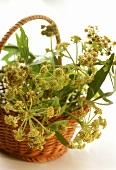 Liebstöckel mit Blüten im kleinen Weidenkorb