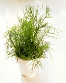 Dill Plant