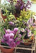 Various flowering herbs in flowerpots