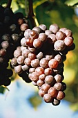 Black grapes (Vernatsch variety) on the vine