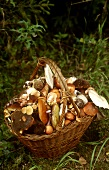 Freshly gathered forest mushrooms in basket in forest glade