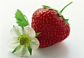Large Ripe Strawberry with Strawberry Blossom