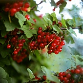 Redcurrants on the bush (outside)