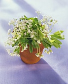 Woodruff in a flower pot