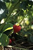 A Strawberry Plant