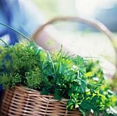 Freshly Picked Herbs in a Wicker Basket