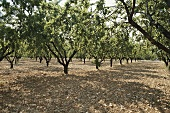 Almond plantation (outdoors)