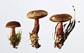 Three red-cracked boletes (Xerocomus chrysenteron)