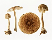 Four shaggy parasol mushrooms