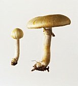 Two horse mushrooms (Agaricus arvensis)