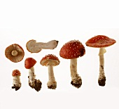 A few fly agarics (poisonous)
