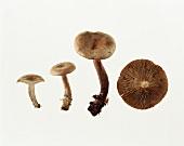 Milkcap mushroom (Lactarius helvus)