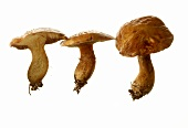 Three larch boletus (Suillus grevellei)