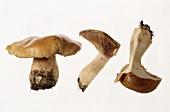 Whole and half mushroom (Cortinarius varius)