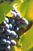 Red wine grapes on the vine (close-up)