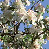 Flowering branches on an apple tree (outdoors)