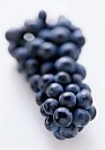 Table grapes: Pfälzer Kurtraube