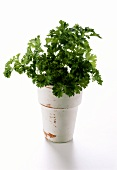 Parsley Planted in a Flower Pot