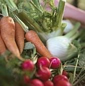 Gartenmöhren, Radieschen und Fenchel; Hand im Hintergrund