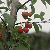 Branch with red crab apples on apple tree in open air