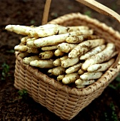 Basket of freshly cut white asparagus on ground
