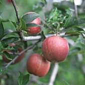 Red apples hanging on tree (Holstein Cox)