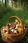 Basket of ceps on grass