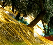 Net under trees for catching olives in an olive grove