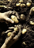 Hands Picking Potatoes