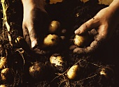 Hands holding freshly dug potatoes above soil