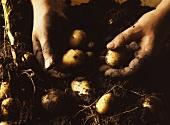 Hände halten frisch ausgegrabene Kartoffeln über Erde