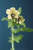 Flowering henbane (Hyoscyamus niger L.)