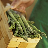 Freshly harvested green asparagus being carried in a basket