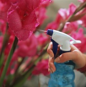Flowers being sprayed with water sprayer