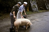 Farmers leading pig to slaughter