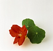 Nasturtium flowers and leaves
