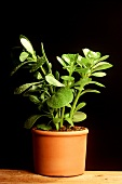 Purslane plant in pot
