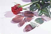 Rose petals and chocolate rose petals