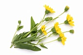 Flowering arnica (Arnica montana)