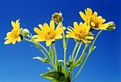 Several arnica flowers (Arnica montana)
