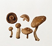 Several pine-wood mushrooms: whole, halved and from below