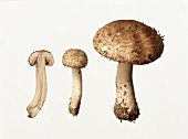 Pine-wood mushrooms: whole and halved