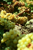 White wine grapes on the vine in Greece