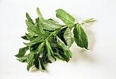 Sprigs of peppermint against white background