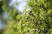 Juniper bush with berries