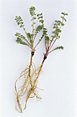 Greater burnet saxifrage (Pimpinella major) plant with root