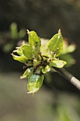 A branch of elm with blossom (Ulmus procera)