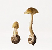 Two green death cap mushrooms (Amanita phalloides)