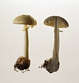 Two false death caps (Amanita citrina): whole & halved